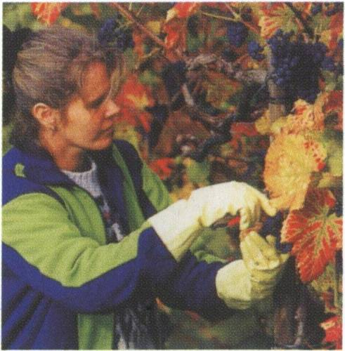 葡萄的生长和一年种植的过程